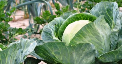 Белокочанная капуста — сорта с фото и названиями. Лучшие сорта капусты на 2018 год