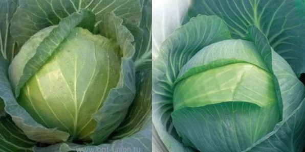 Поздние сорта белокочанной капусты