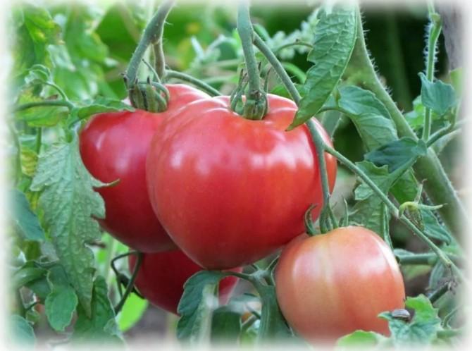 Сорта помидоров для урала в открытом грунте