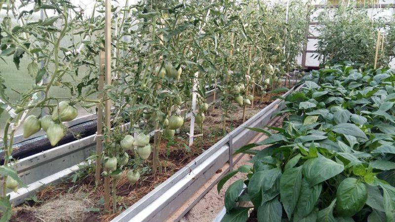 Лучшие сорта томатов (помидоров) для теплицы из поликарбоната