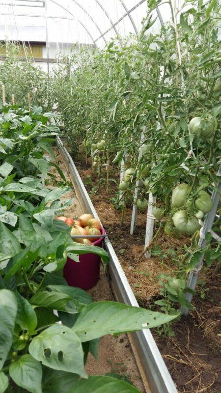 Один из лучших сортов томатов для защищенного грунта