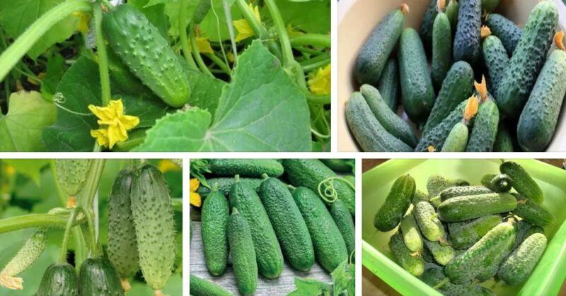 Сорта огурцов для открытого грунта: какие лучшие и самые урожайные с фото