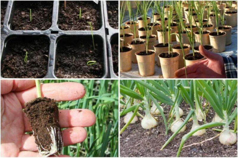 Когда сажать и как вырастить лук эксибишен из семян через рассаду в 2019 год