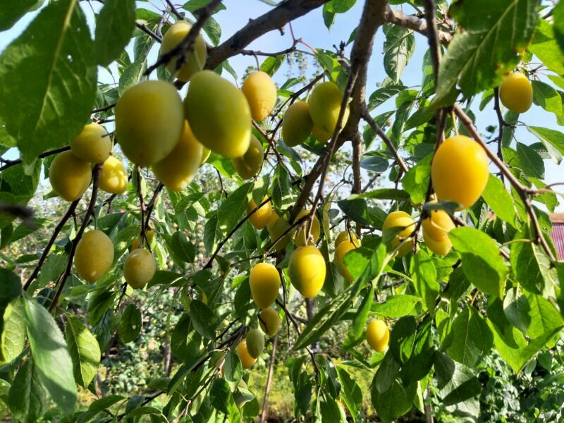 Сочные, некрупные плоды овальной формы, с оранжевым румянцем на солнечной стороне